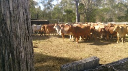 Some cattle in the yards