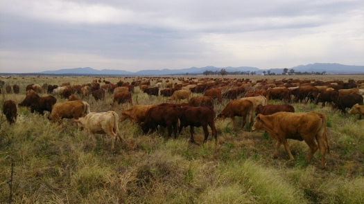 The cattle graze as they walk.
