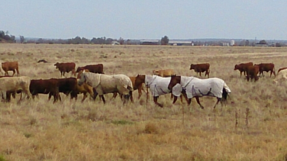 The horses on their days off travel with the cattle.